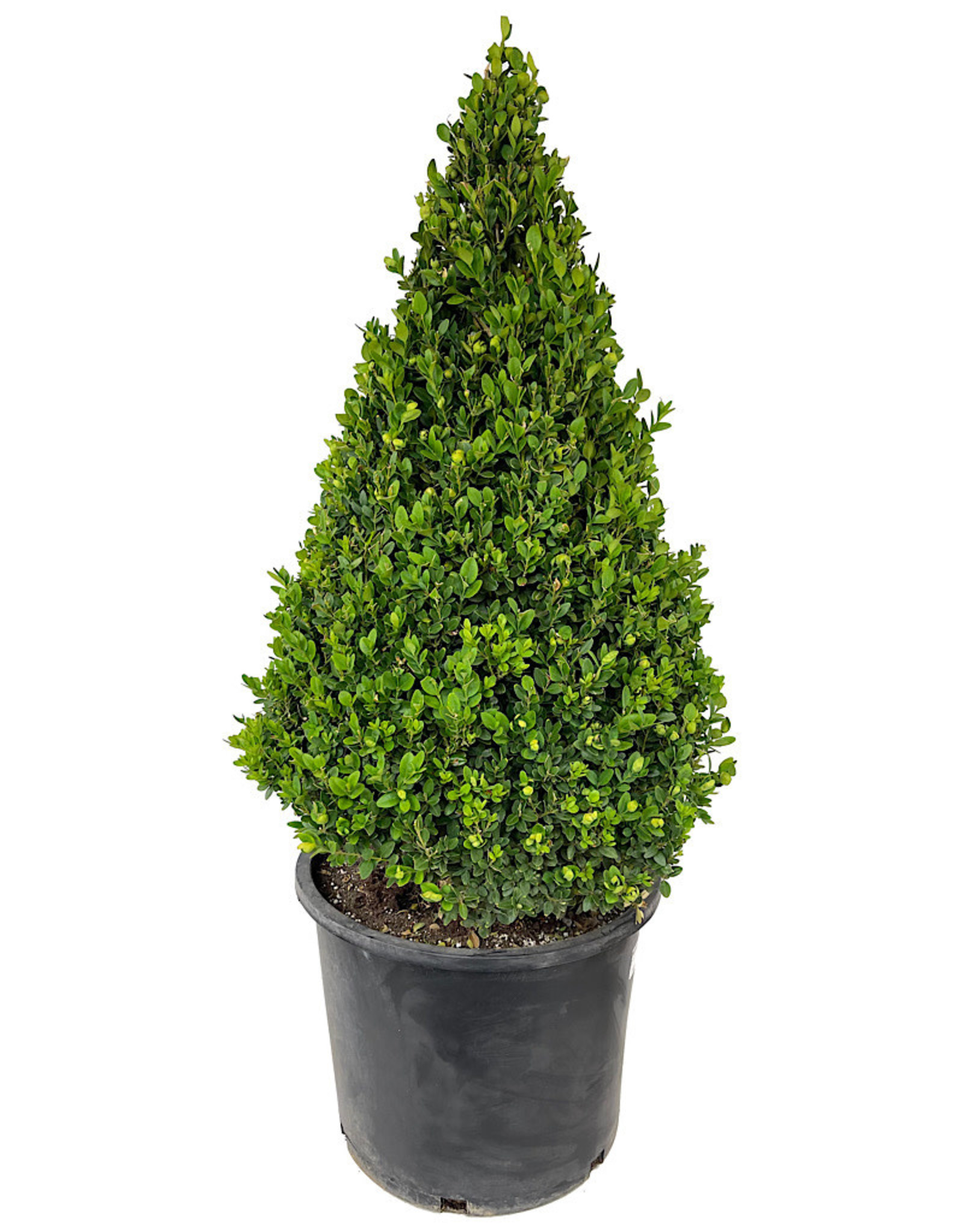 Buxus Sempervirens Cone Topiary 27-30 Inch