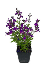 Salvia greggi 'Mirage Deep Purple' Quart