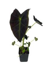Colocasia esculenta 'Illustris' Quart
