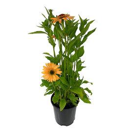 Echinacea 'Supreme Cantalope' 1 Gallon