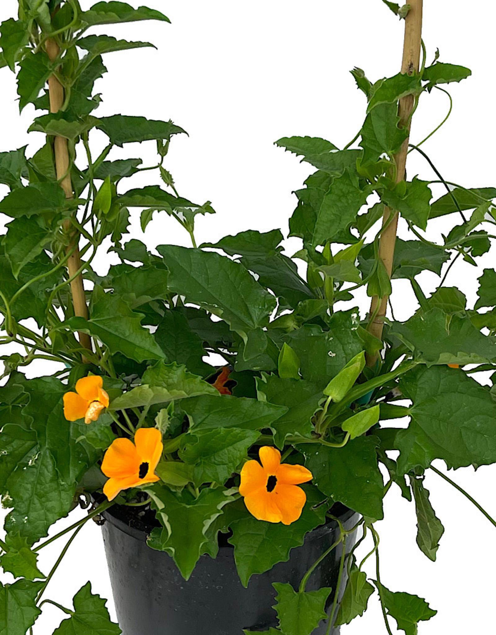 Thunbergia 'Orange w/ Black Eye' 1 Gallon
