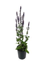 Salvia n. 'Caradonna' 1 Gallon
