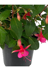 Fuchsia 'June Bride' 1 Gallon