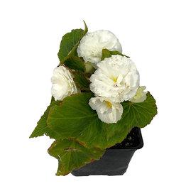 Begonia 'Nonstop White' 4 Inch