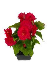 Begonia 'Nonstop Rose Pink' 4 Inch