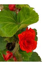 Begonia 'Nonstop Orange' 4 Inch
