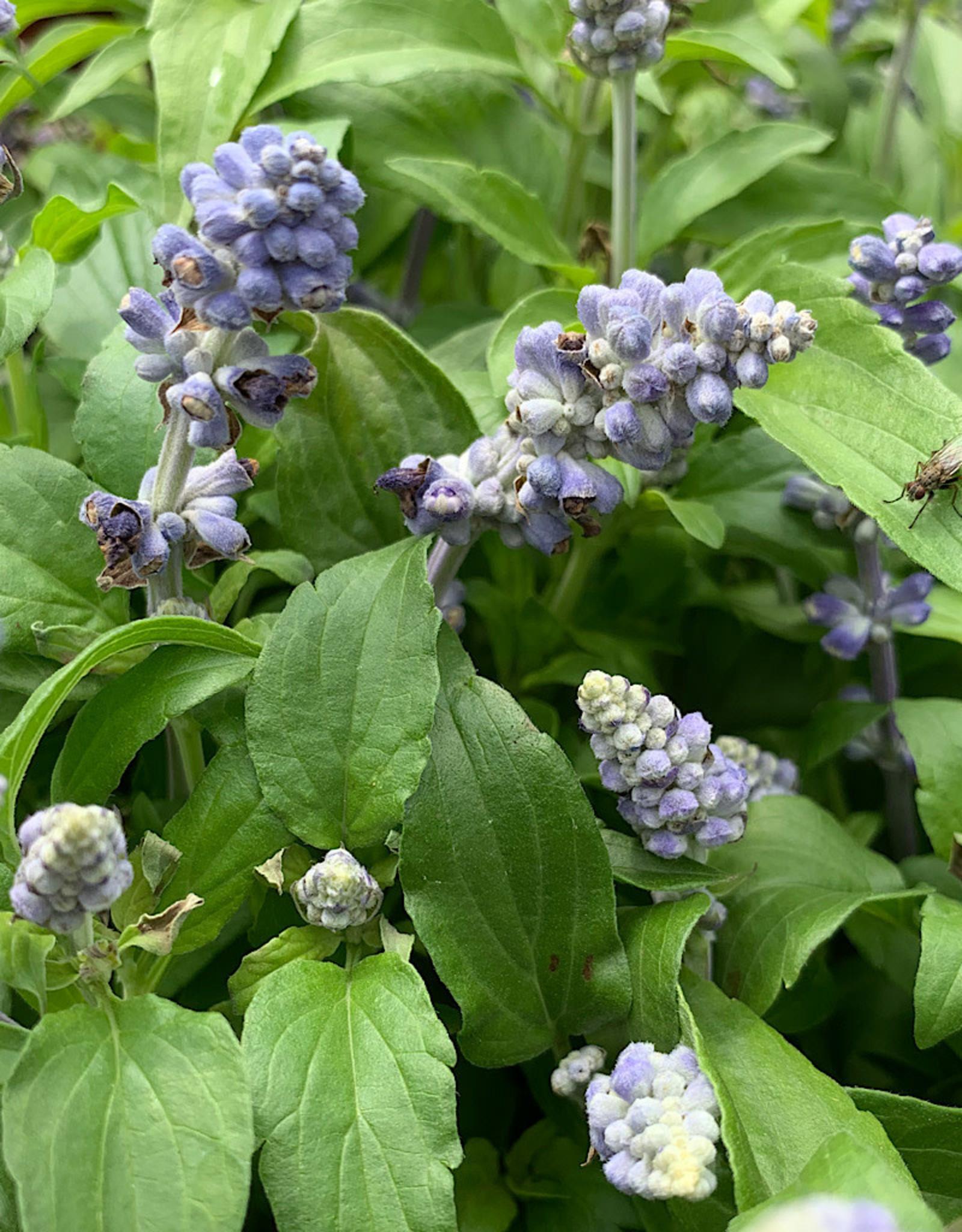 Salvia 'Icon Light Blue' 6 Inch