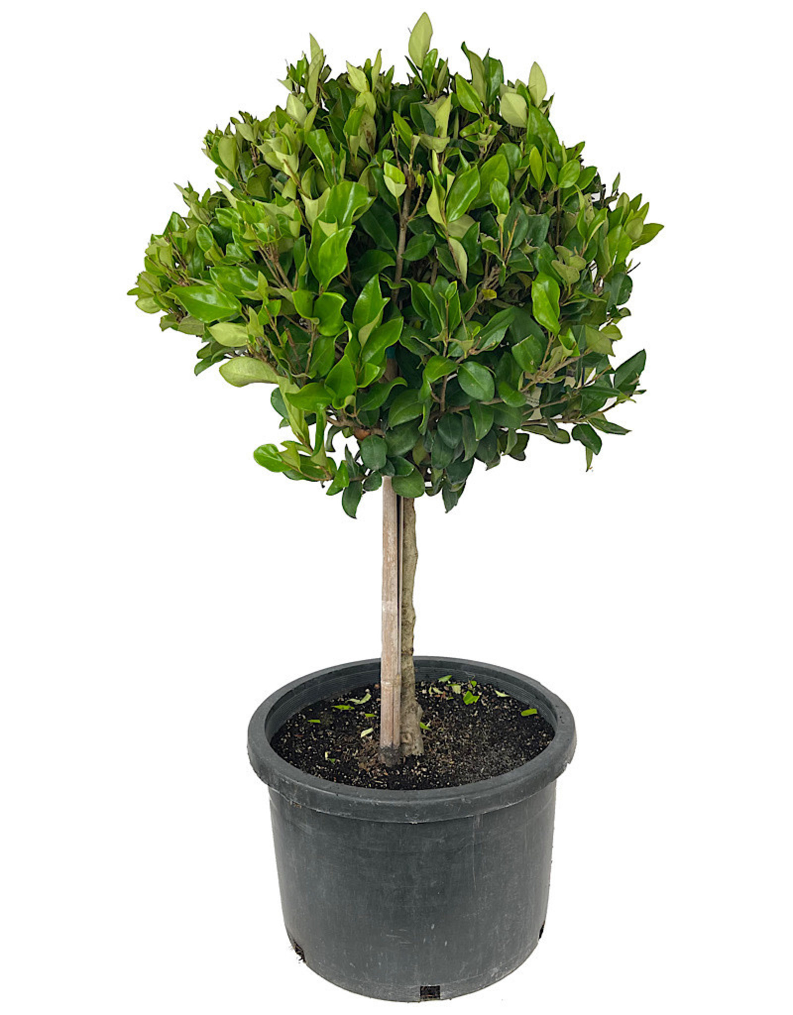 Ligustrum japonicum 'Texanum' 10 Gallon Short Patio Tree
