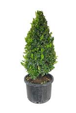 Ligustrum j. 'Texanum' 10 Gallon Cone