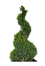 Buxus sempervirens Spiral Topiary 33-36 Inch