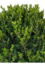 Buxus semperviren Single Globe Topiary 30-36 Inch