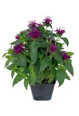 Monarda 'Balmy Purple' 1 Gallon