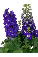 Delphinium 'Aurora Purple' 2 Gallon