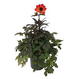 Dahlia 'Mystic Haze Orange' 1 Gallon