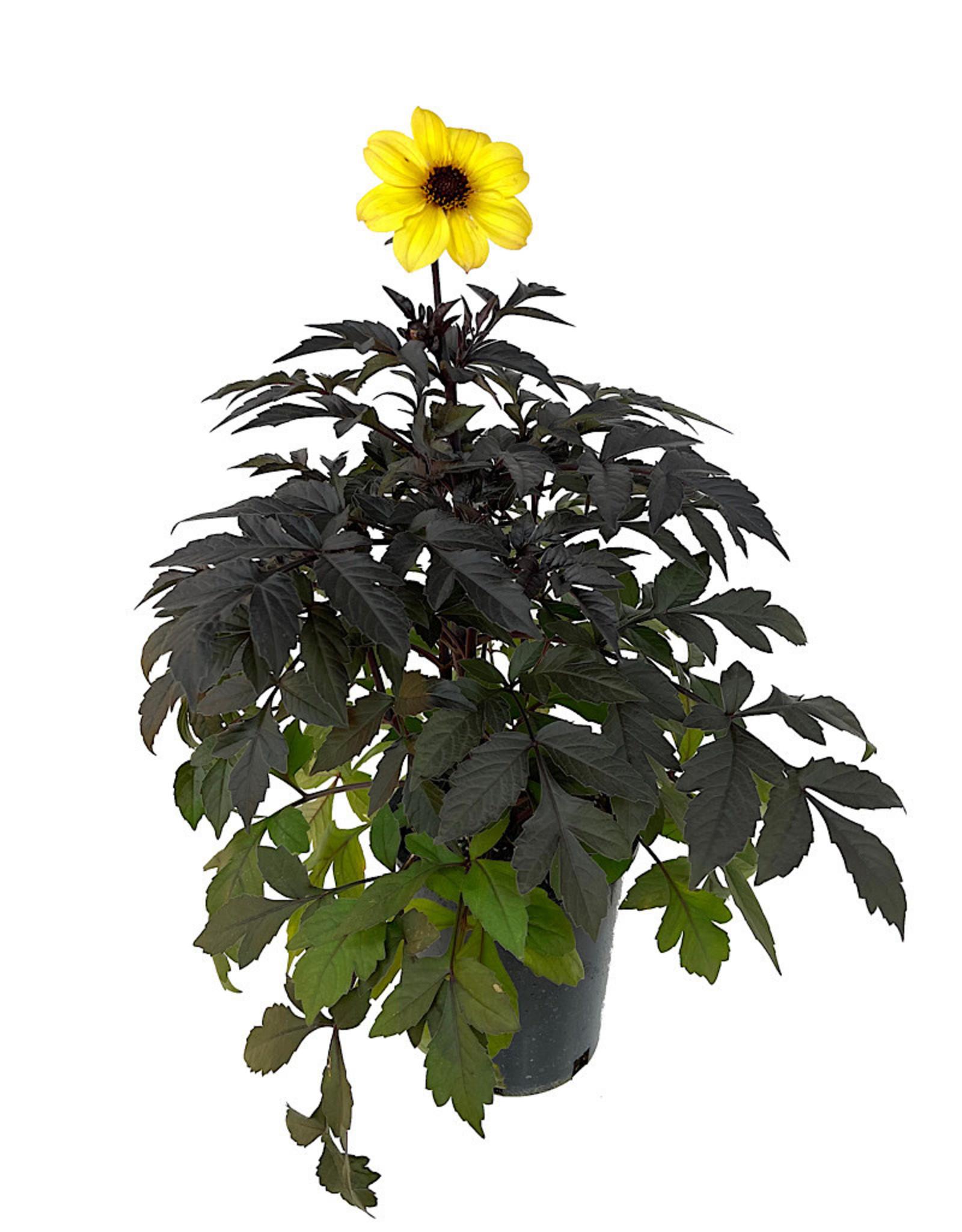 Dahlia 'Mystic Illusion Yellow' 1 Gallon