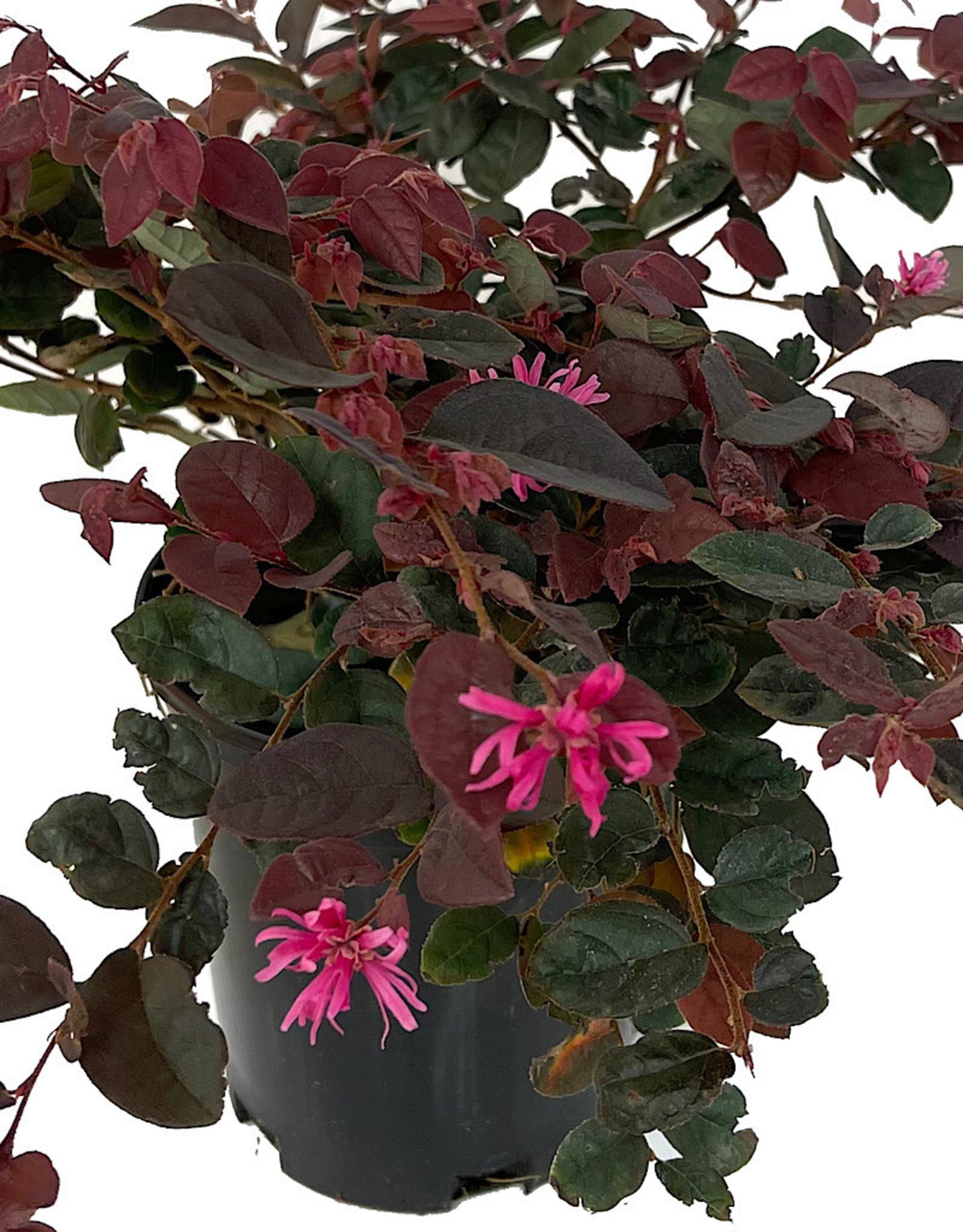 Loropetalum 'Sizzling Pink' 1 Gallon