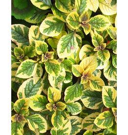 Plectranthus ciliatus 'Guacamole' 4 Inch
