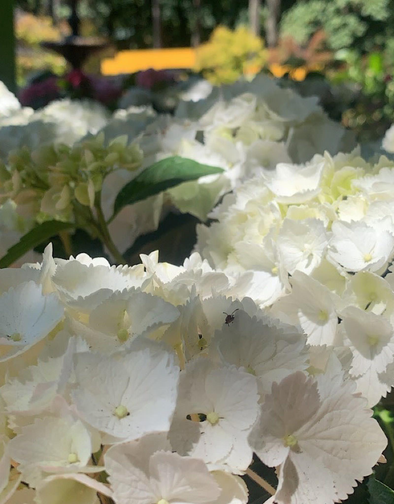 Hydrangea macrophylla 'Pure White' 6 Inch