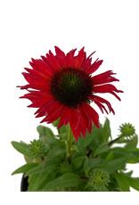 Echinacea 'Kismet Red' 1 Gallon