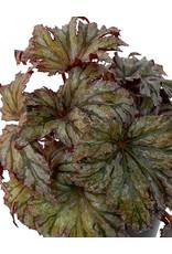 Begonia 'Garden Angel Plum' 6 Inch