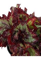 Begonia 'Nautilus Supreme' 6 Inch