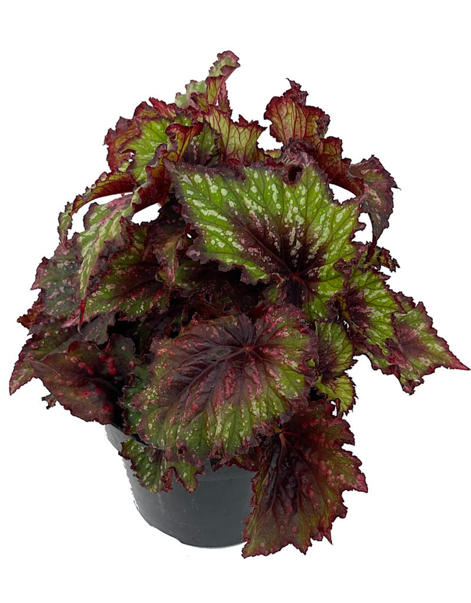 Begonia 'T-Rex Painter's Palette' 6 Inch