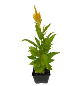 Celosia 'Fresh Look Yellow' 4 Inch