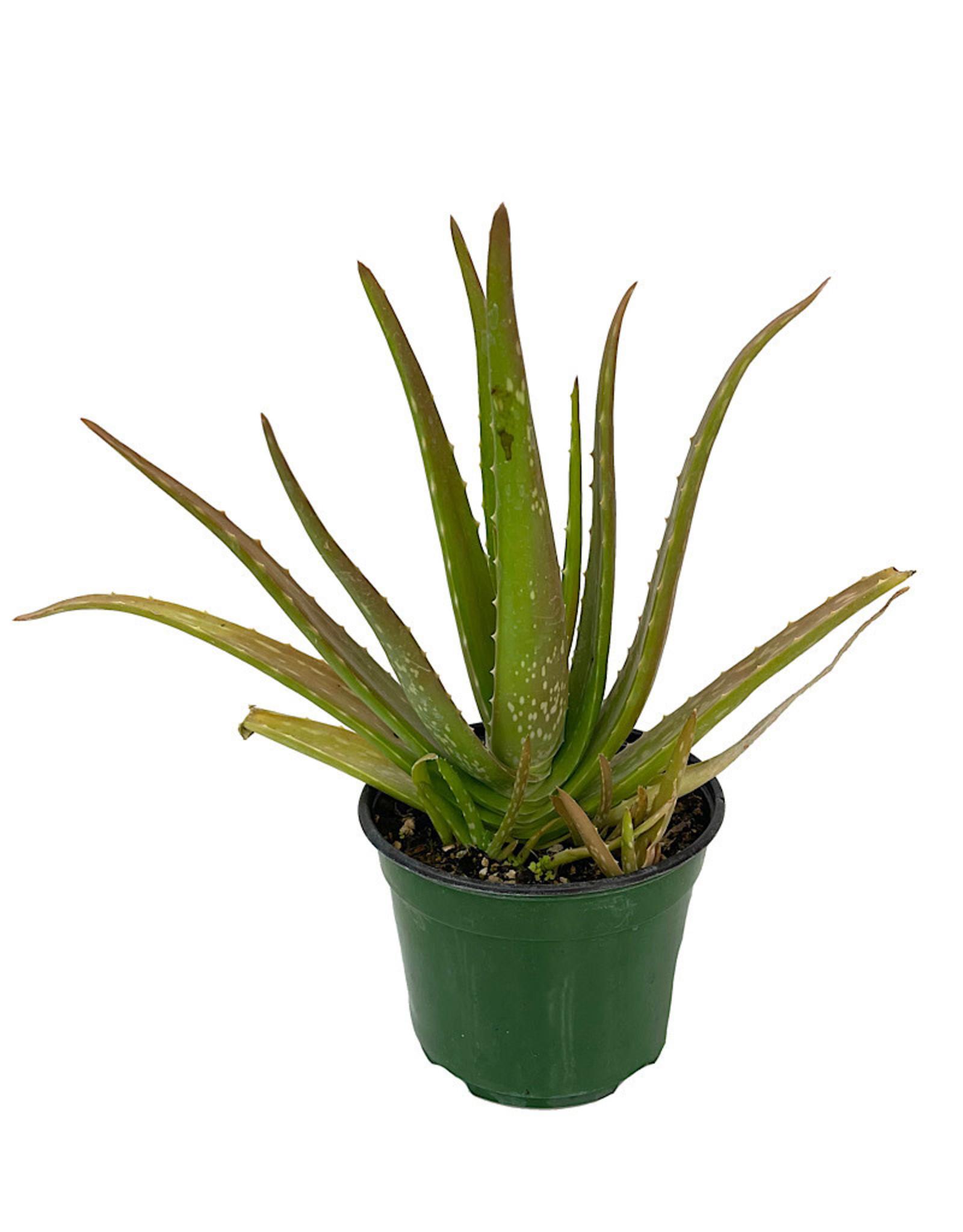 Aloe plicatilis 4 Inch