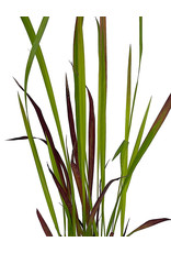 Imperata cylindrica 'Red Baron' 4 inch