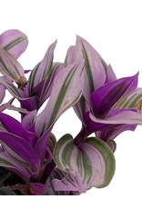 Tradescantia fluminensis 'Nanouk' 4 Inch
