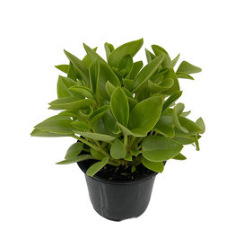 Peperomia 'Pixie Lime' 4 Inch
