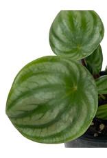 Peperomia argyreia Quart