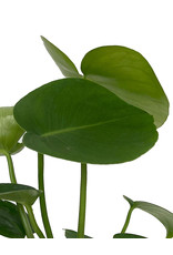 Philodendron 'Monstera' 4 Inch