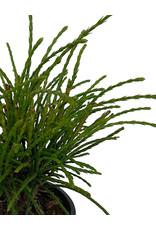 Thuja plicata 'Whipcord' 4 inch