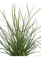 Carex 'Everest' 4 Inch