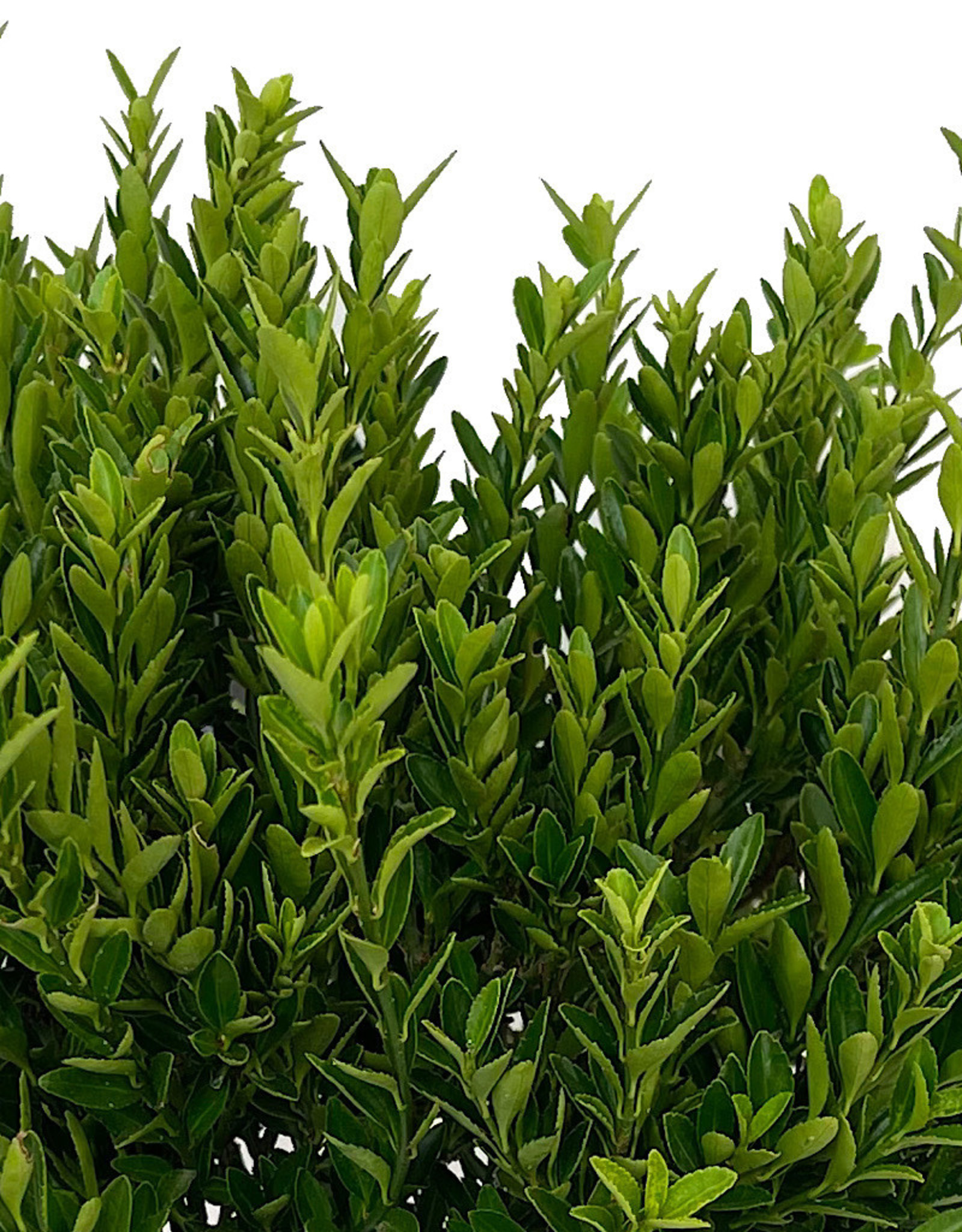 Euonymus j. 'Microphylla' 1 Gallon