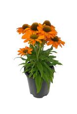 Echinacea 'Prima Saffron' 1 Gallon