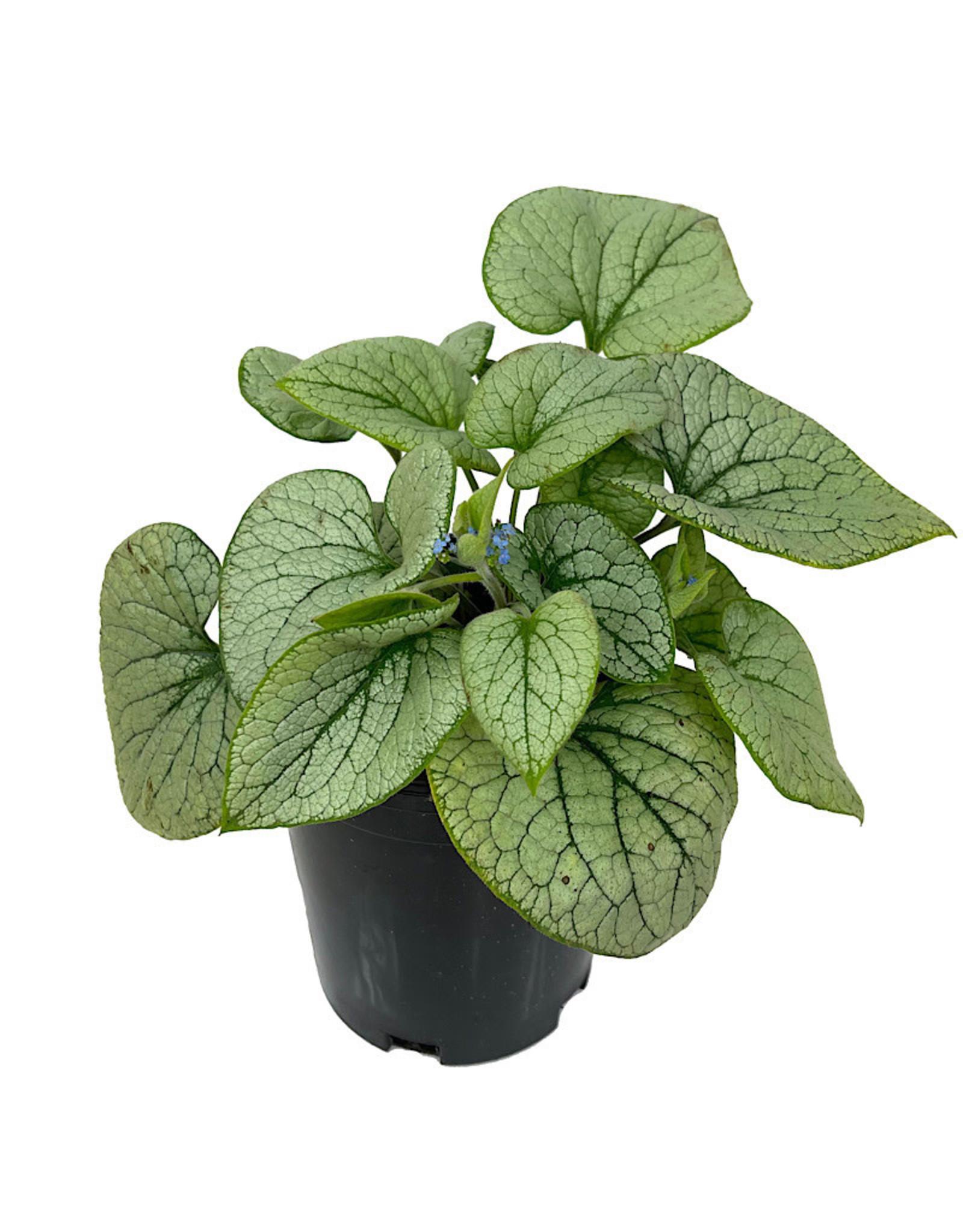 Brunnera macrophylla 'Alchemy Silver' 1 Gallon