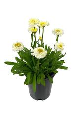 Leucanthemum superbum 'Luna' 1 Gallon