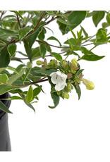 Abelia x grandiflora 'Lucky Lots' 1 Gallon