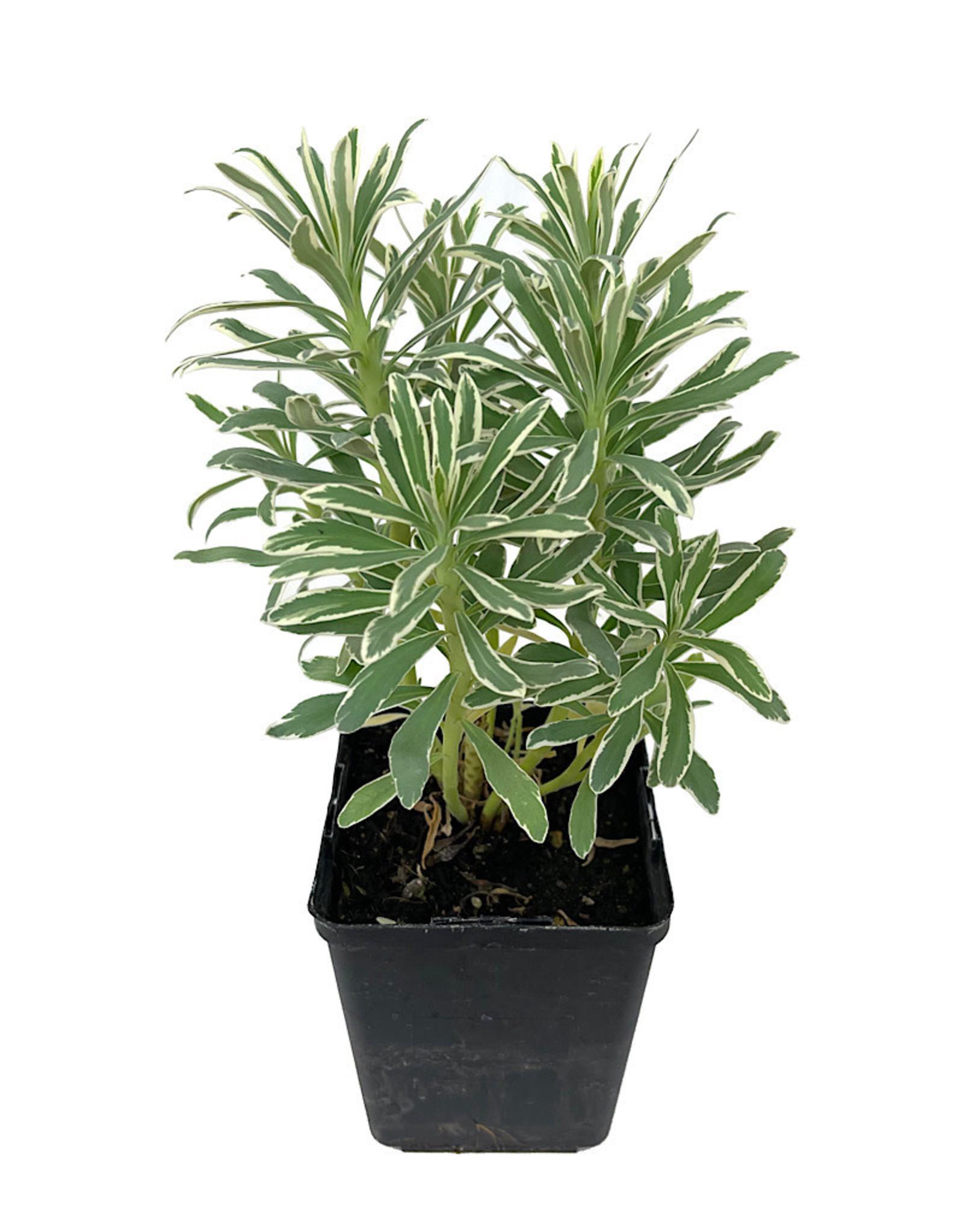 Euphorbia 'Glacier Blue' Quart
