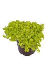 Sedum hispanicum 'Aureum' Quart