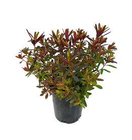 Euphorbia 'Bonfire' 1 Gallon