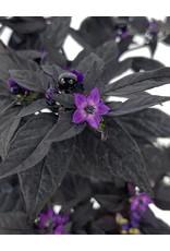 Capsicum annuum 'Purple Flash' Quart