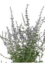 Perovskia atriplicifolia 1 Gallon