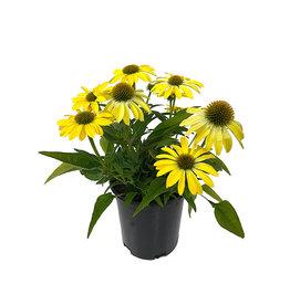 Echinacea 'Sombrero Summer Solstice' 1 Gallon