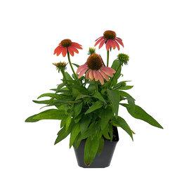 Echinacea 'Sombrero Poco Hot Coral' 1 Gallon