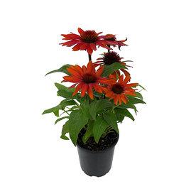 Echinacea 'Sombrero Sangrita' Quart