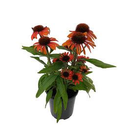 Echinacea 'Prima Ruby' Quart