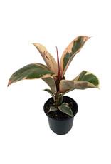 Ficus elastica 'Tineke' Quart